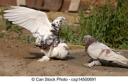 Stock Photographs of White Pigeons Bird copulating csp14500691.