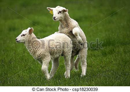 Stock Photos of Copulating sheep on the garden csp18230039.