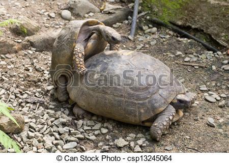 Stock Image of Tortoise Copulating.