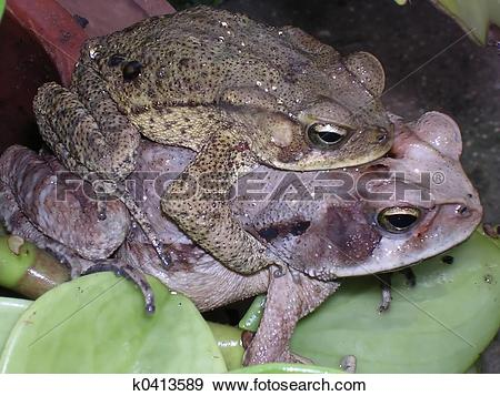 Stock Photograph of Frogs copulating k0413589.