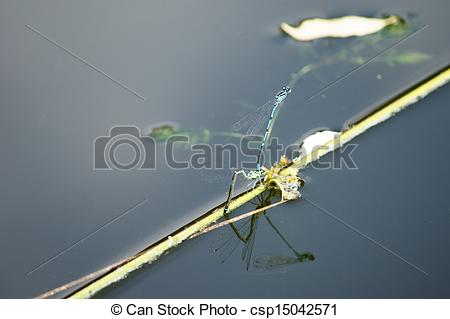 Picture of Dragonfly copulation.