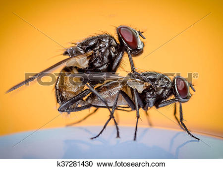 Stock Photography of fly copulation k37281430.