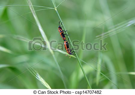 Stock Illustration of Fire bug copulation.