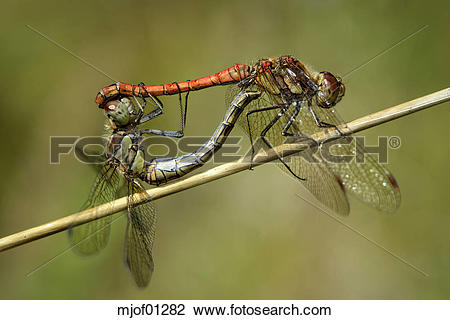 Stock Photo of Two copulation Common darters mjof01282.