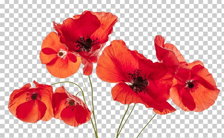 Common Poppy Flower Remembrance Poppy PNG, Clipart, Annual Plant.