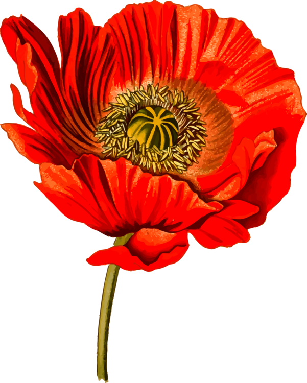Plant,Flower,Coquelicot Vector Clipart.
