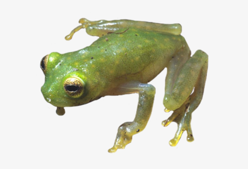 Red Eyed Tree Frog Clipart Coqui.