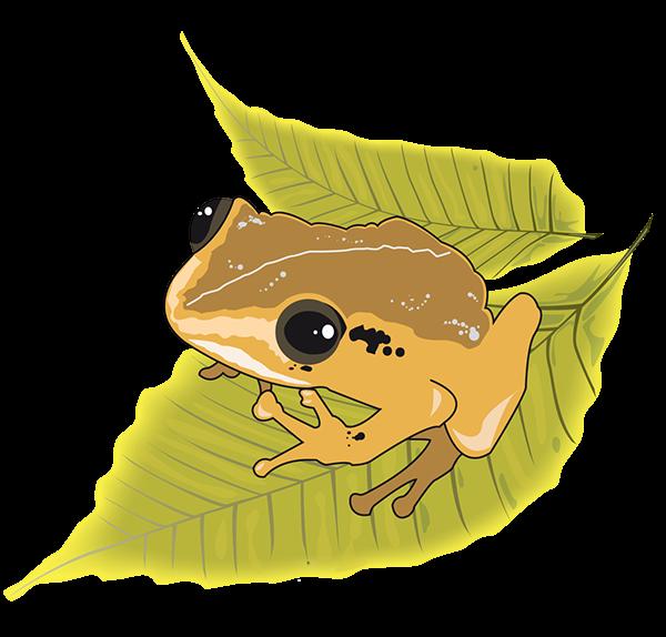 Puerto Rican native frog