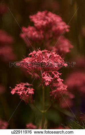 Stock Images of closeup of red coral bells u22911976.