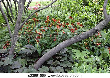Stock Photograph of GARDEN: partially shaded garden, red Spigelia.