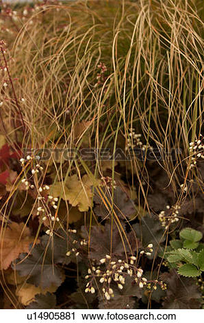 Stock Photography of white coral bells flowers against brown and.