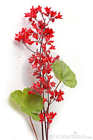 Coral Bells Flowers Stock Photo.