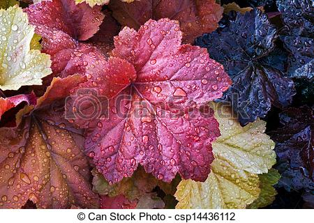 Stock Photography of Wet Heuchera Leaves.