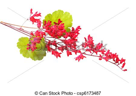 Stock Photography of Coral Bells Flowers.