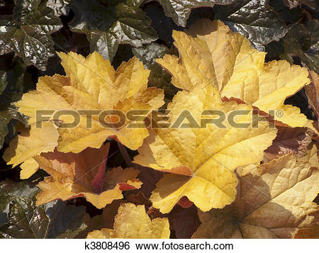 Stock Images of Huchera (Coral Bells), gold leaves k3808496.