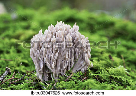 """Stock Images of """"Coral Fungus (Clavulina cinerea), Upper Austria."""