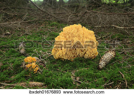 "Stock Photo of ""Beautiful Clavaria or Yellow."