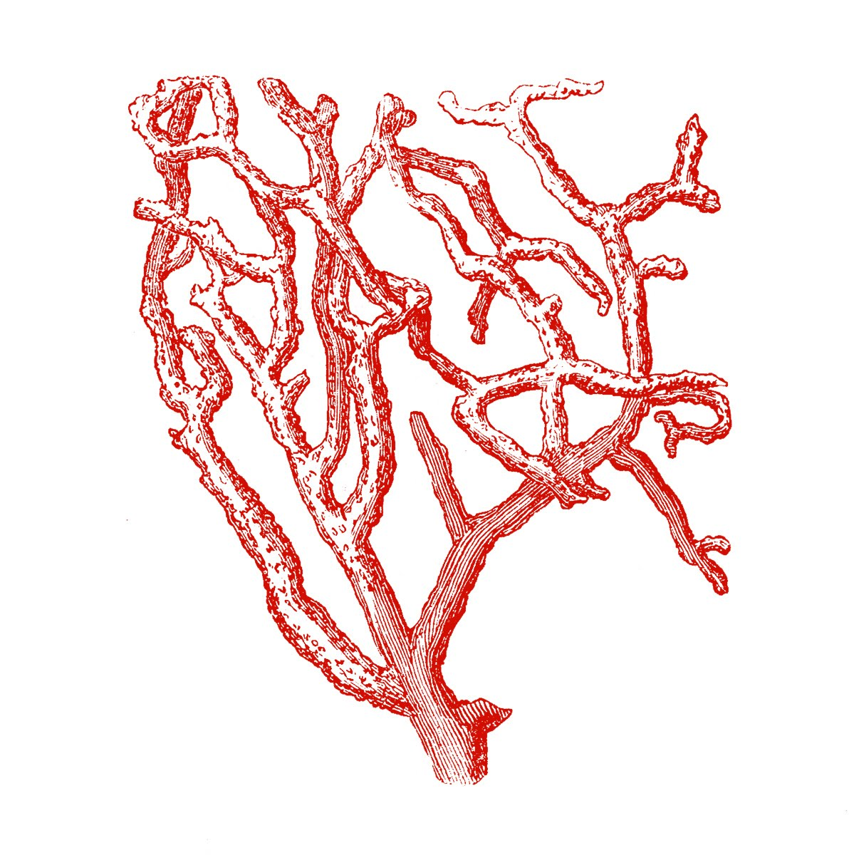 Coral red clipart #8