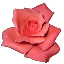 Coral Rose Clipart.