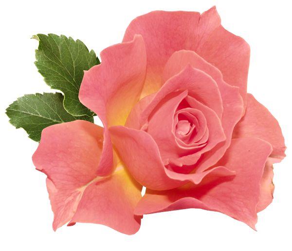 Orange Rose Clipart.