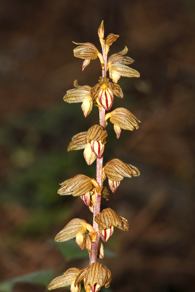 File:Corallorhiza striata in Yosemite National Park.jpg.