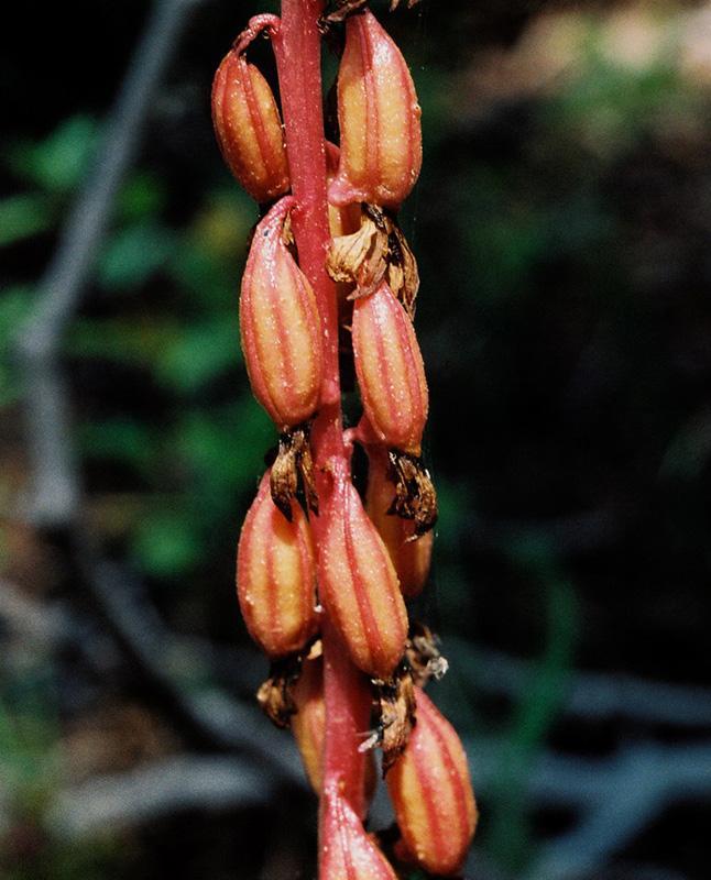 Corallorhiza striata (Striped Coral Root): Go Orchids.