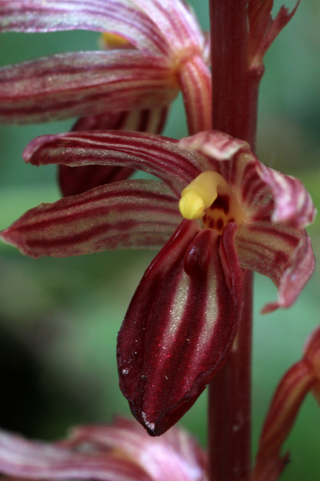 Native Orchids of the Pacific Northwest and the Canadian Rockies.