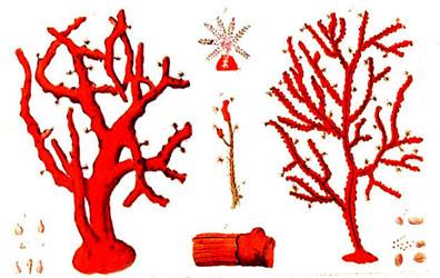 corallium_gorgonia.jpg.