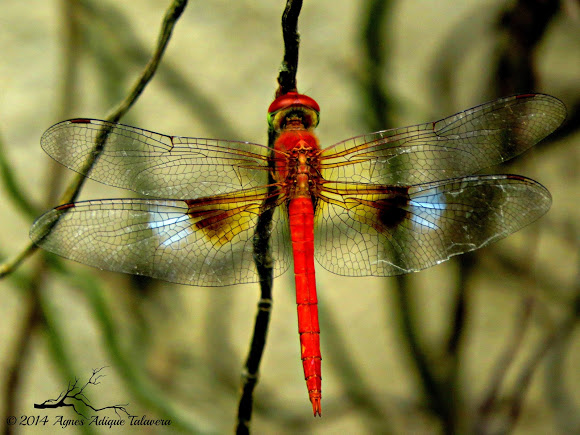 Coral-tailed cloudwing clipart #19