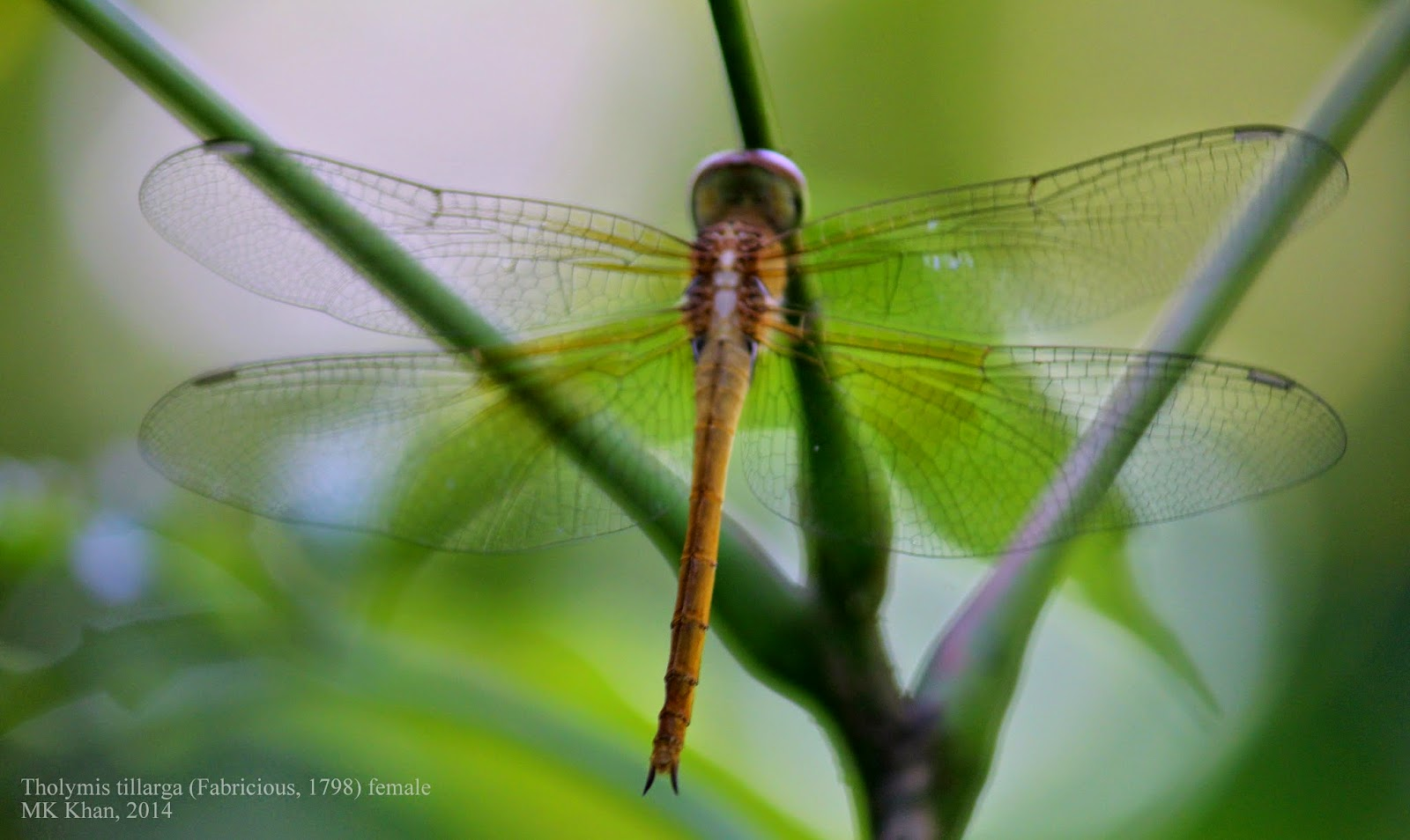 Dragonflies and Damselflies of Bangladesh: February 2015.