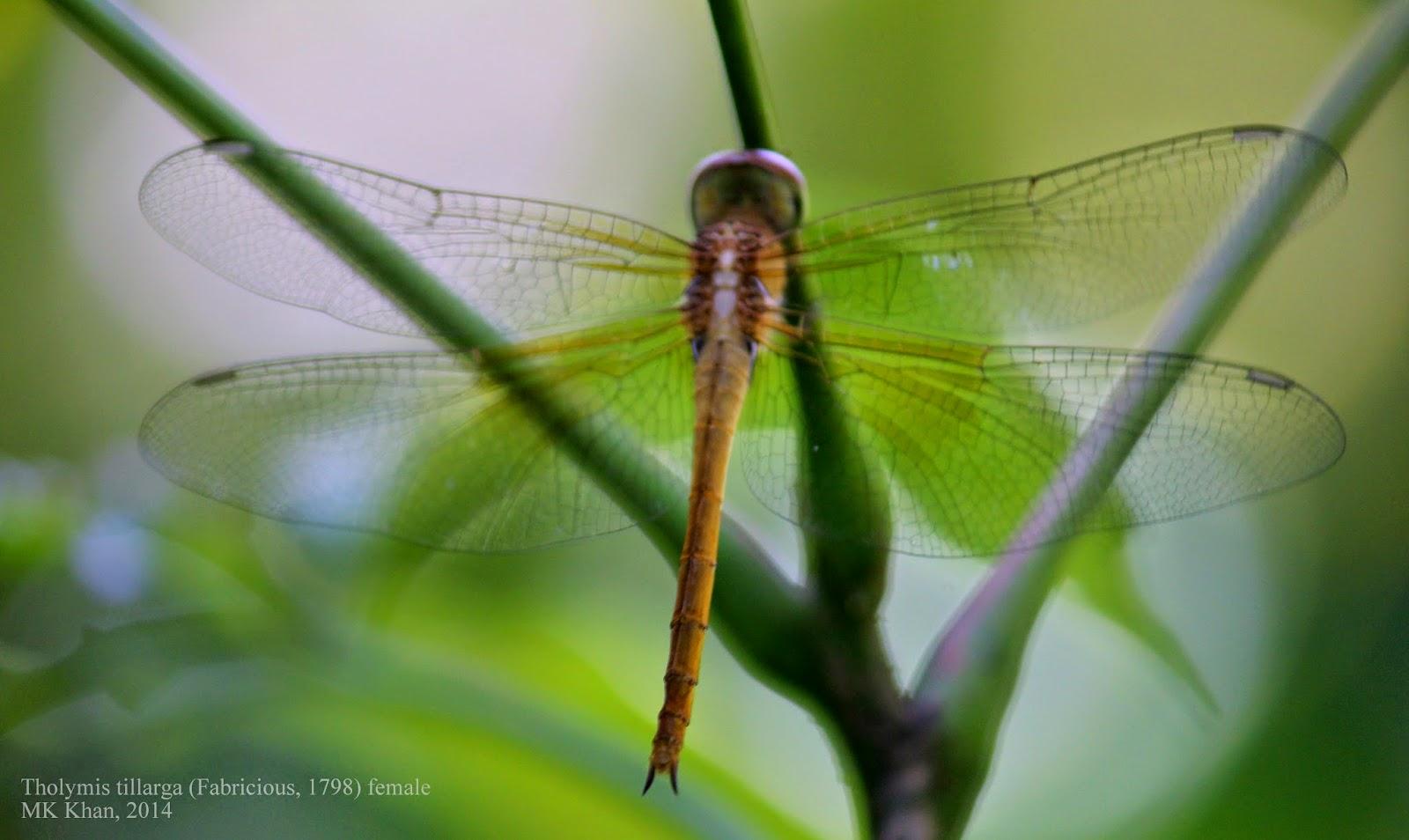 Dragonflies and Damselflies of Bangladesh: February 2015.