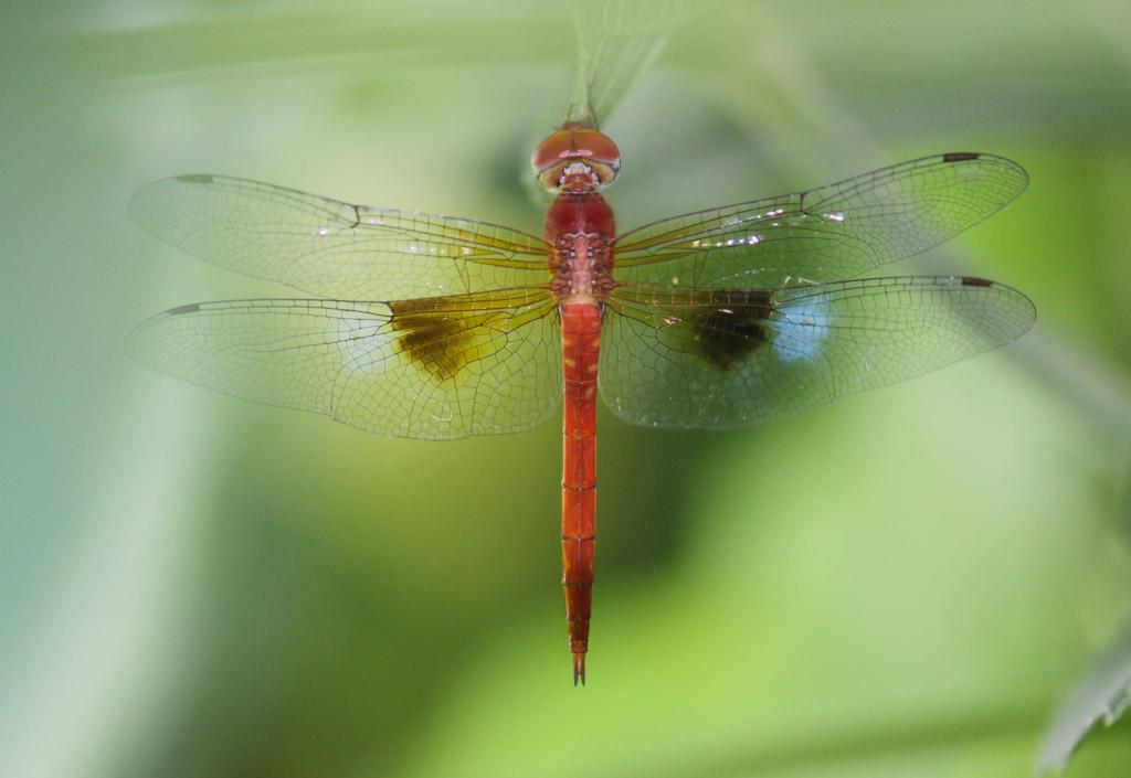 Odonata of Bangladesh.