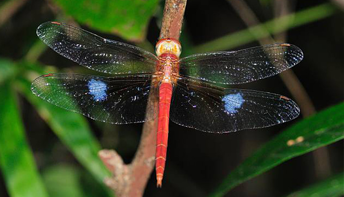 Coral-tailed cloudwing clipart #5