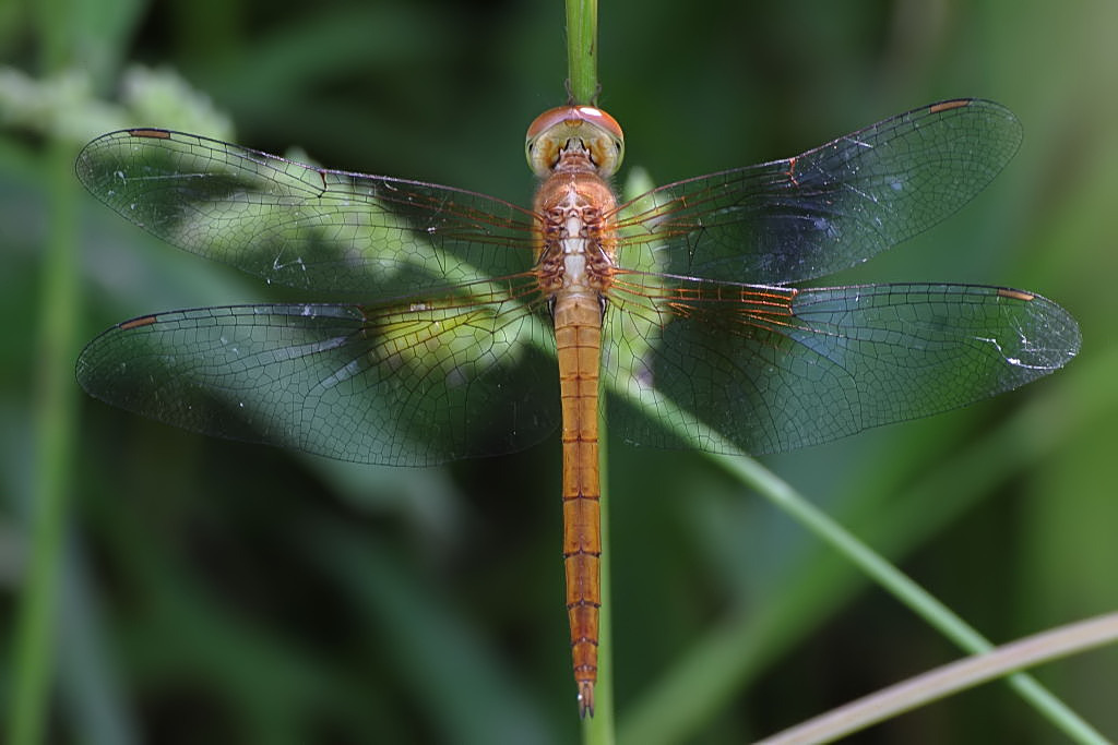 Coral Tailed Cloud Wing female.