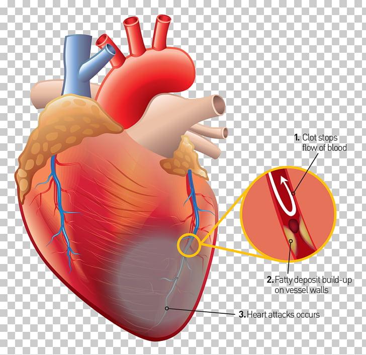 Corazón humano anatomía humana cuerpo humano, corazón PNG.