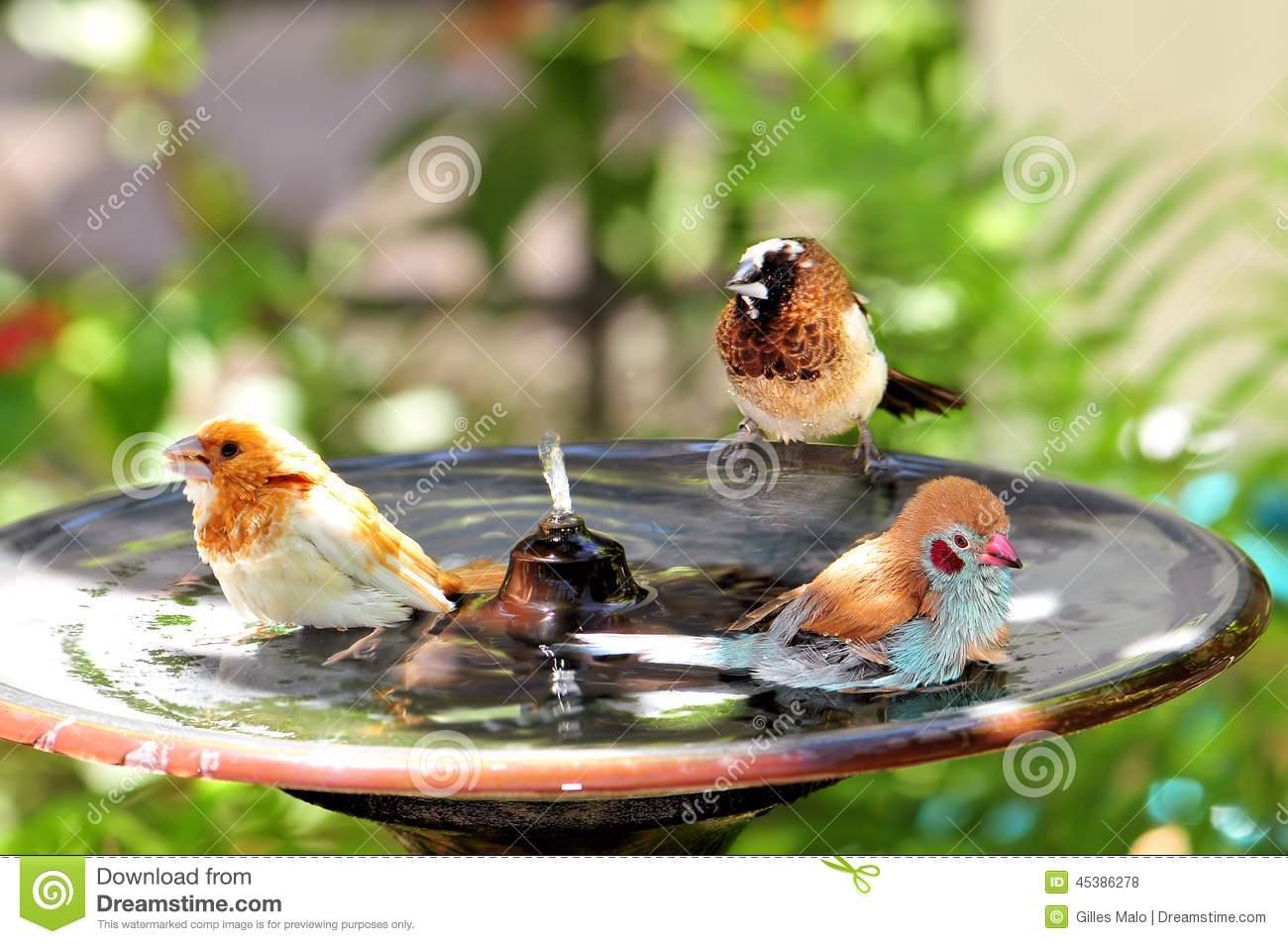 Three Finch Birds In Bird Bath In Aviary Stock Photo.