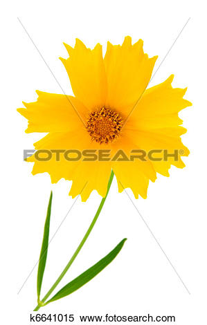 Stock Image of Coreopsis flowers.