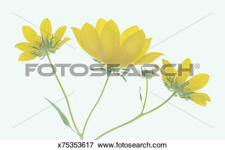 Picture of Whorled coreopsis (Coreopsis verticillata), side view.