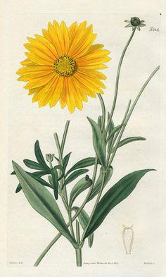 Vintage Botanical Print Antique WHITE ROSE Of Fleury, plant print.