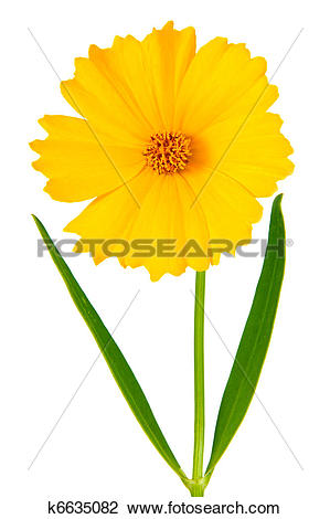 Clip Art of Coreopsis flowers.