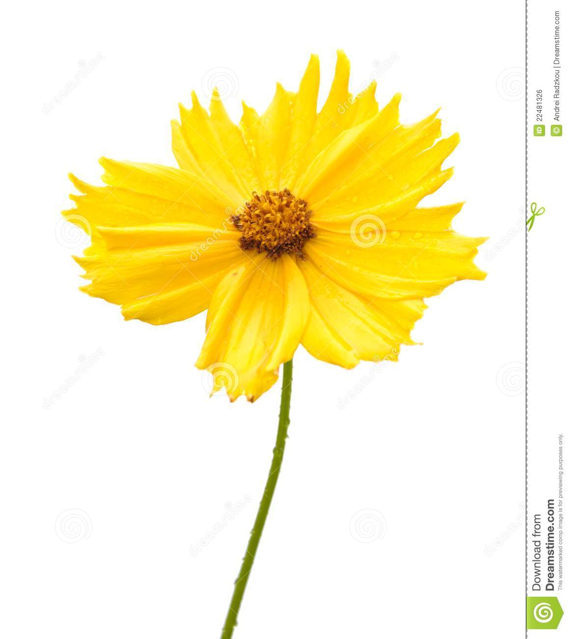 Yellow Flower Of Garden Coreopsis Royalty Free Stock Image.