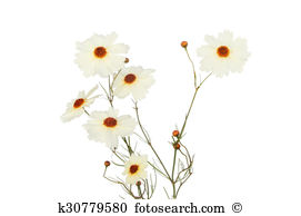 Coreopsis Illustrations and Stock Art. 7 coreopsis illustration.