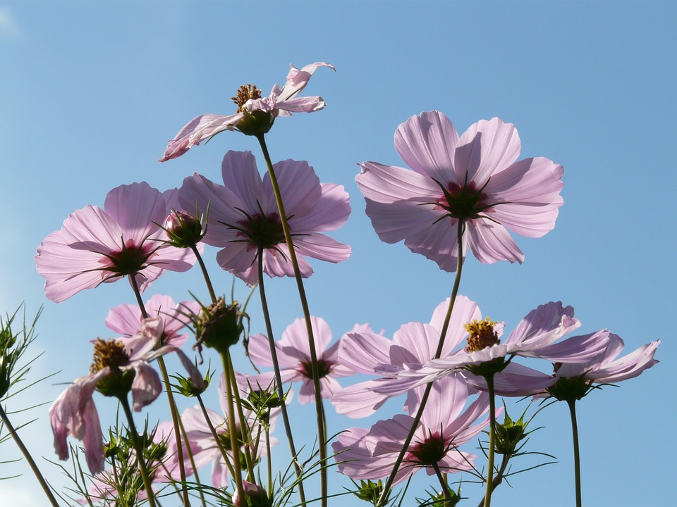 Free photo: Cosmos, Cosmea, Flower, Flowers.