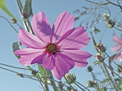 Cosmea cosmos free stock photos download (52 Free stock photos.