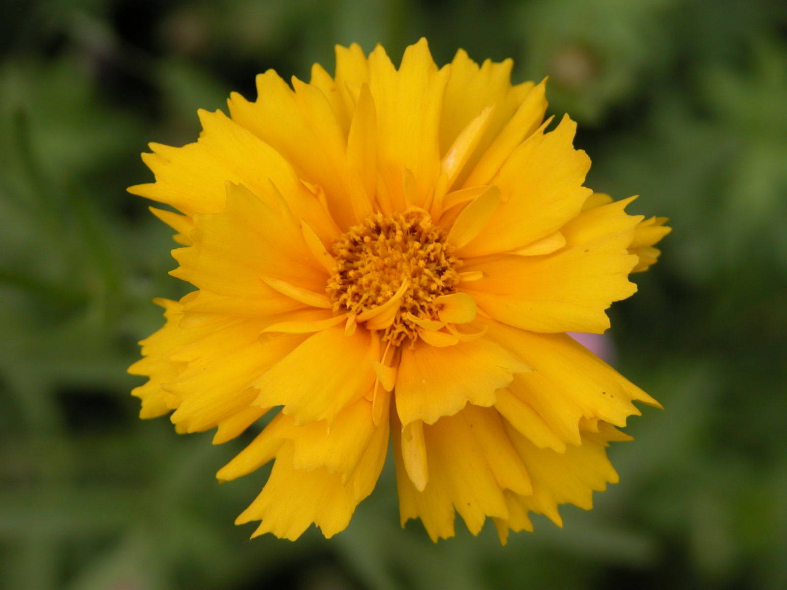 Tickseed ~ Coreopsis Plant Care Guide and Varieties.