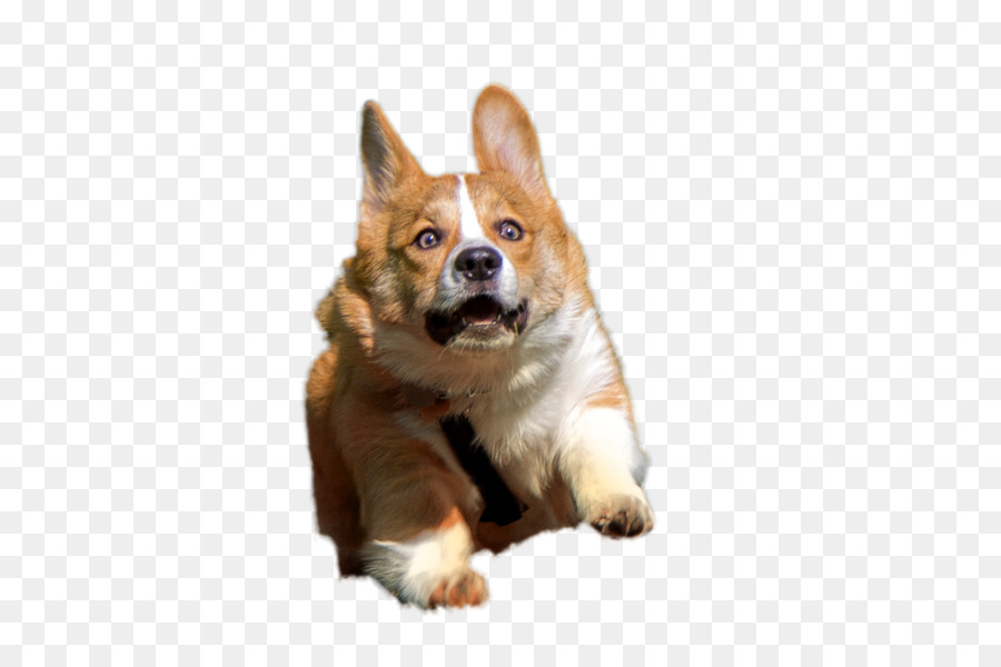 Corgi Cartoon png download.
