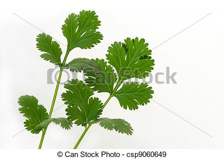 Stock Illustration of Coriander.