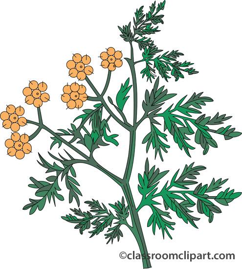 Herbs : coriander_407 : Classroom Clipart.