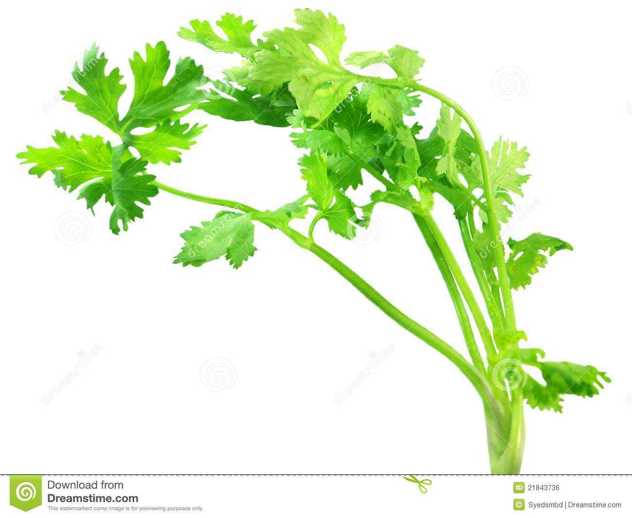 Coriander Leaves Royalty Free Stock Image.