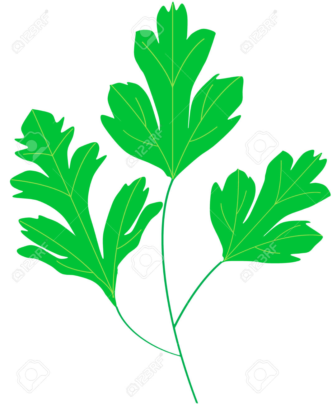 Coriander Cilantro Green Leaf Royalty Free Cliparts, Vectors, And.